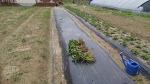 [농사일기] 봄 농사 마지막으로 꿀고구마를 심었습니다/죽풍원의 농사일지/행복찾기프로젝트/고구마 효능/고구마 심는시기/고구마 수확시기/고구마 심는 간격/고구마 심는 방법
