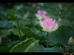 철마 연꽃지와 수련