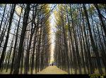 도리마을 은행나무숲