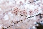 부천의 벚꽃길