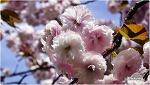 늦은봄 화려하게 피는 왕벚꽃,접벚꽃,접사쿠라,King cherry