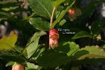 산앵도나무_20120520