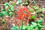 9월의 대구 수목원-석산 (꽃무릇)