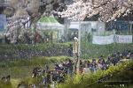 온천천의 벚꽃들 (온천천 벚꽃축제날)