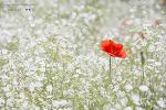 태화강변의 양귀비, 안개꽃, 작약꽃 그리고 보리....