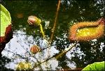대구수목원 가시연꽃,빅토리아연꽃 그리고 닥꽃