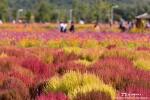 양주 나리공원 핑크뮬리, 코키아 곱게 물든 분홍빛 가을