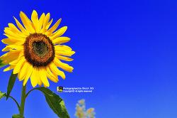 해바라기 - 가을 하늘의 해바라기꽃