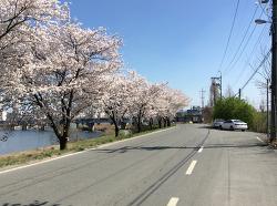 2016 전주천 벚꽃