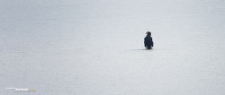 한강 얼음판 위에 펭귄^^ ?  참수리 Steller's sea-eagle