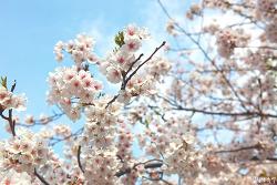벚꽃 구경가는 날, 벚꽃사진 연습(서울 장충단공원)