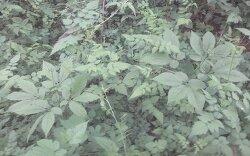 산삼 (산원초)