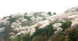 핑크빛 벚꽃에 물든 에버랜드를 소개합니다!