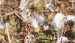 작은 풀꽃들의 씨앗 솜털