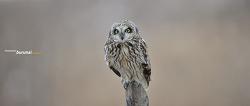 쇠부엉이의 짧게 털어주는 센스와 아이컨텍 웃음 같은 표정^^ Short-eared owl