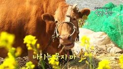 인간극장 '노인과 소', 노부부와 정겨운 고향 섬 장도의 워낭소리