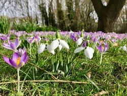 '눈방울' 꽃이 알리는 영국의 봄 소식 (1)