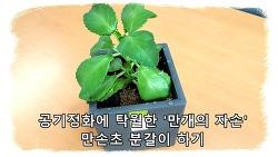 공기정화에 탁월한 전자파차단 식물 만손초 분갈이하기