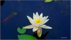 예쁜 수련(睡蓮,Nymphaea,Water lily)사진