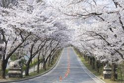 에버랜드 벚꽃, 이번 주말 만개… 벚꽃축제 개막