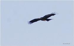 멸종위기종 1급 송골매의 비행장면