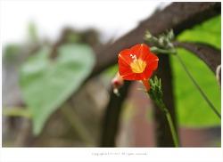 [8월 야생화] 주홍색이 매력적인 둥근잎유홍초