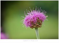 올림픽공원 5월 야생화 - 뻐꾹채.쥐오줌풀.바위미나리아재비.매발톱.작약.엉겅퀴.부채붓꽃.타래붓꽃.꽃창포.용머리.섬백리향 등