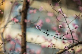 봄을 알려주는 꽃(홍매화,매화,산수유)