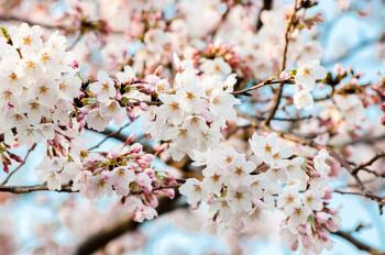 2017년 일본 기상청이 발표한 일본벚꽃 개화시기