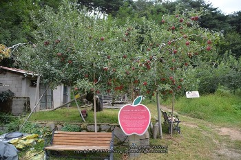 대구 나들이 우리나라에서 가장 오래된 홍옥 사과나무