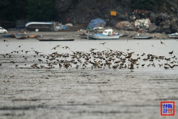 지금 서해안 갯벌에는 도요새들이 집단 도래중