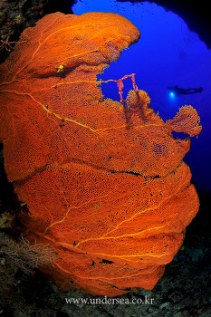 seafan in siaes tunnel. palau