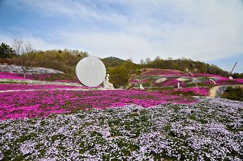 진분홍색 꽃물결이 넘실대는 '2017 산청 생초국제조각공원 꽃잔디 축제' (산청여행/산청명소)