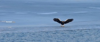참수리 한강의 얼음판에 발바닥이 얼어붙었다.~ Steller's sea eagle #2