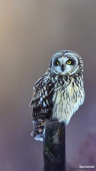 스마트폰 배경화면 쇠부엉이 Short-eared Owl