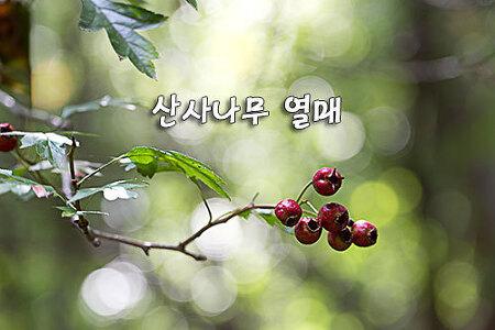 산사나무 열매
