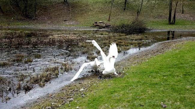 우아한 백조가 사납게 백조를 쫓아내는 장면