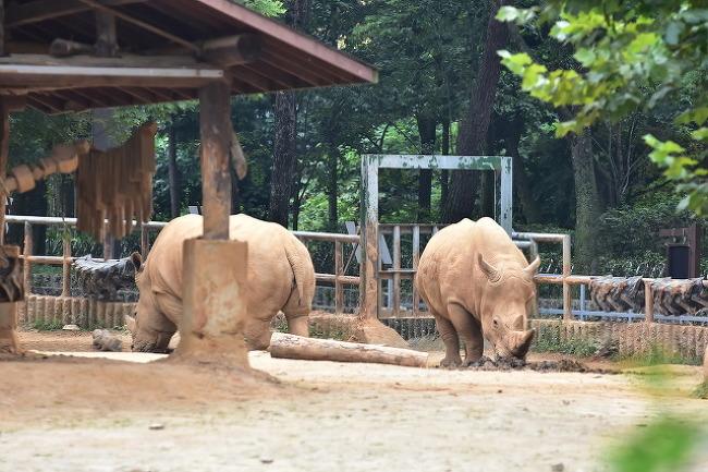 서울대공원 흰코뿔소