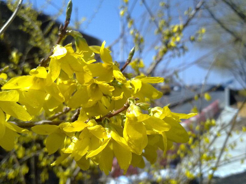 활짝 핀 개나리꽃