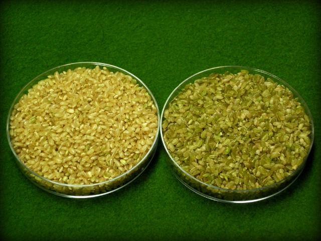 새로운 쌀 '청립 현미' 나온다_불면증 개선, 중풍.치매 예방에 좋아