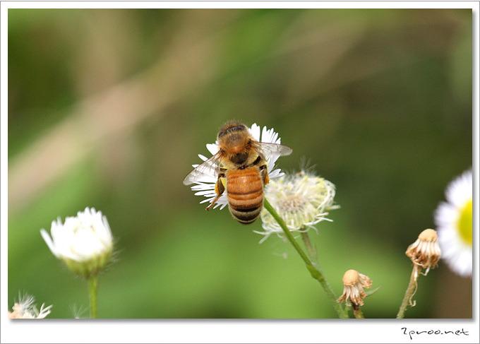 꿀벌 사진