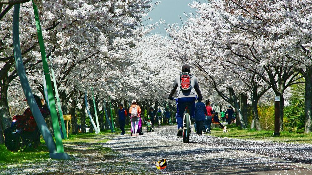 벚꽃길의 진수를본다( 부산 낙동강변 뚝길).