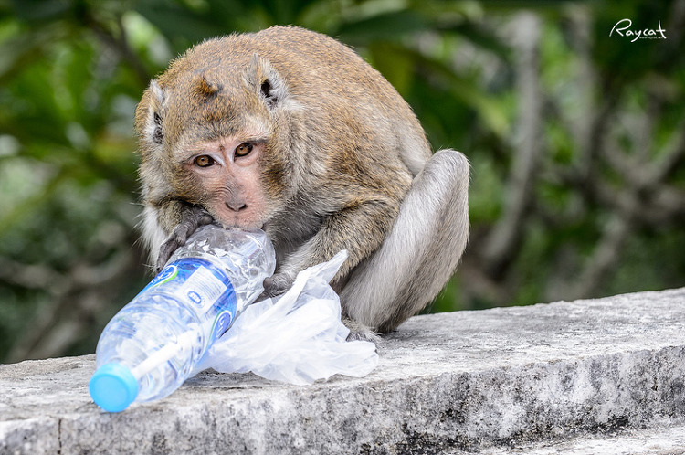 도둑원숭이