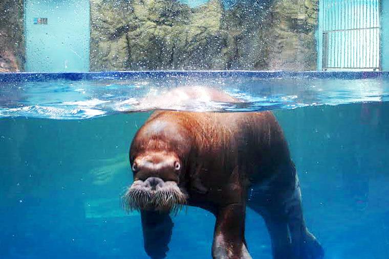 바다코끼리, 해양생물, 바다생물