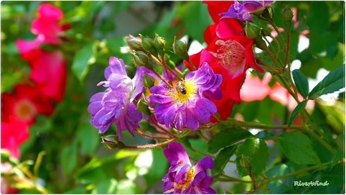OmnisLog :: 독특한장미꽃 바일헨블라우