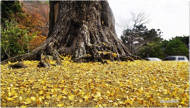 보호수 범어사 은행나무
