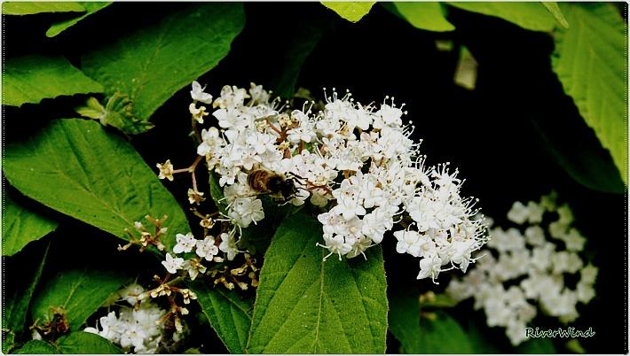 하얀 봄꽃 덜꿩나무/OmnisLog
