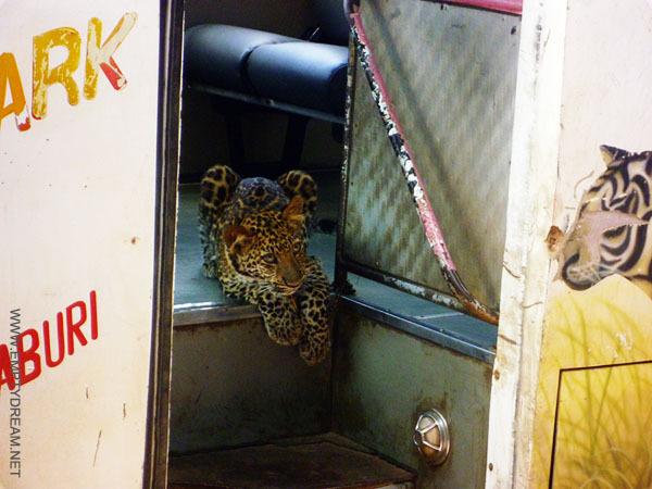 버스 운전사가 키우는 얌전한 큰 고양이. 멋 모르고 탑승할 관광객을 버스 안에서 얌전히 기다리고 있다
