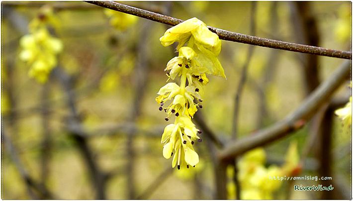 노랑 봄꽃 히어리