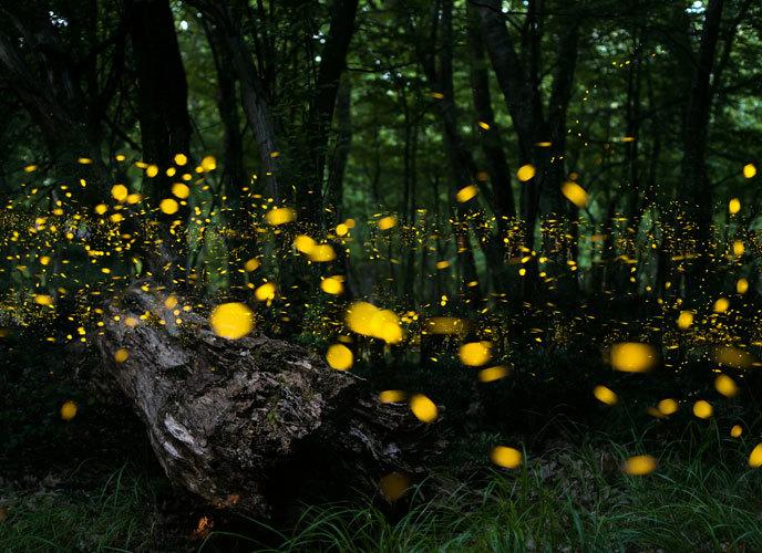 숲에 가득한 반딧불이